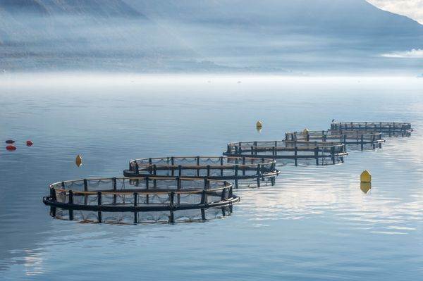 Manolin's aquaculture forecasting model connects operations and fish health